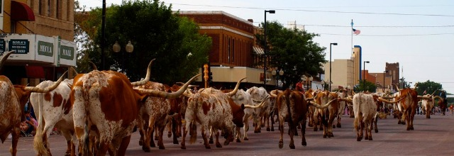 Cattle Drive on Main Street
