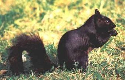 Black Squirrel City
